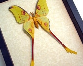 Real Framed Madagascar Male Comet Moon Moth Shadowbox Display 1076