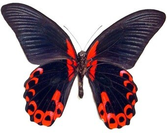 Mother's Day Gift Blood Red Rumanzovia Real Butterfly Display 138