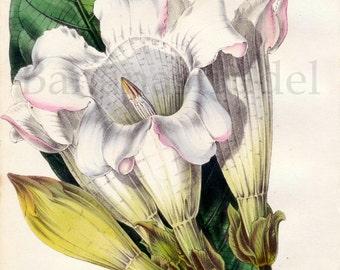 1847 Rare Vintage Botanical Print by Joseph Paxton - Beaumontia Grandiflora - Handcolored