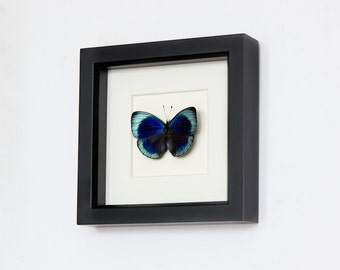 Framed Butterfly Charles Darwin Museum Shadowbox