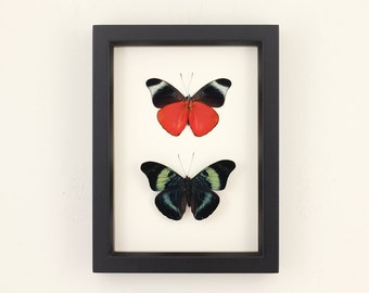 Real Framed Butterfly Display Red Flasher PANACEA PROLA