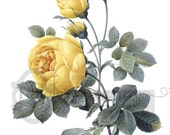 French Yellow Rose Printable Digital Image: Commercial Use - Image No. R72 Istant Download