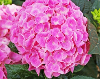 Hydrangea Photography Greeting Cards