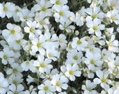 PRE-ORDER NOW for Spring 2016 Delivery - Live Snow In Summer aka Cerastium Tomentosum Rooted Plants, Ground Cover, Deer Drought Resistant