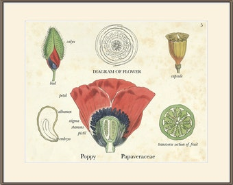 Botanical Art Print, Poppy, Papaveraceae, Vegetable Kingdom, Fitch, Kew, Flower, Plate 5 Natural History