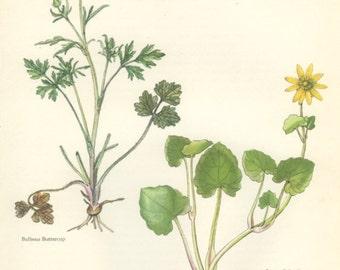 Vintage Wild Flower Print, Buttercup, Celandine, Botanical Flower (21) Natural History, Blossom Art, 1963, Svolinsky