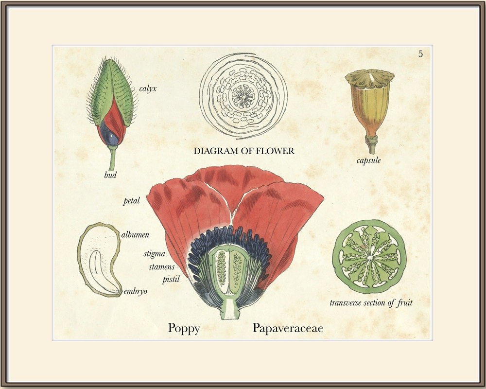 Parts Of A Poppy Flower - Flower