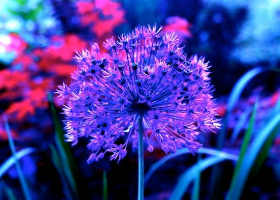 Purple Ultra Violet Dream Allium Flower Amethyst Blue Magenta