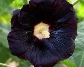 Hollyhock, Black Hollyhock Seeds