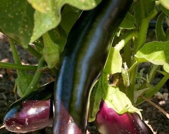 Eggplant, Diamond Eggplant Seeds