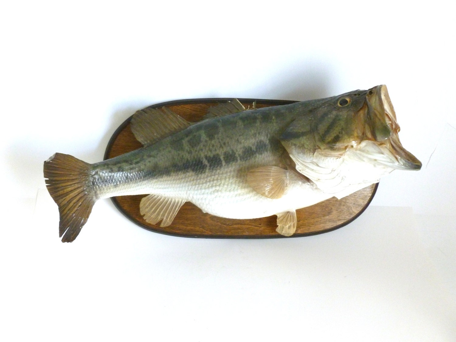 Vintage mounted wide largemouth bass fish taxidermy wall for Fish wall mount