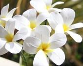 Crepe Paper Flowers --- Plumeria