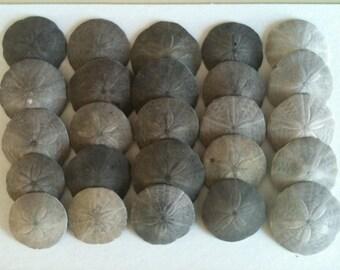 Maine Sand Dollars (quantity 25)