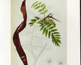 Honey Locust Print by Prestele Book Plate SALE Buy 3, get 1 Free