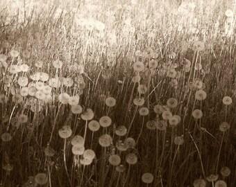 Dandelions seeds, sepia, ghost flowers, dreamy, fine art, wall decor