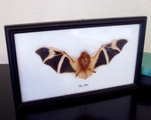 Taxidermied Bat - Mounted and Framed - Bat Oddity
