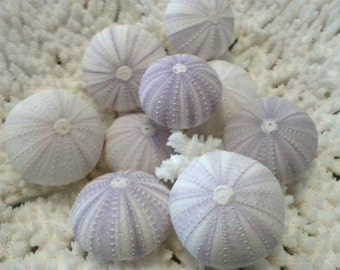 Light Lavender Pale Violet Lilac Purple Sea Urchins Shell Natural Pastel Colors Urchin Seashells Decor Delicate Accents Decorating Crafting