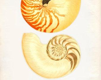 Vintage Sea Shell Nautilus Pompilius Print 8x10 P260