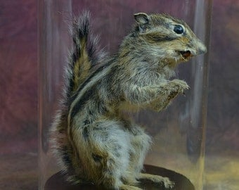 taxidermy of  chipmunk mounted with glass dome and wood base.