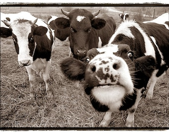 Cow photography, Nature Photography, Cows, black and white, giclee print,animals, Farm, nature, funny, silly, happy, Dairy, Sepia