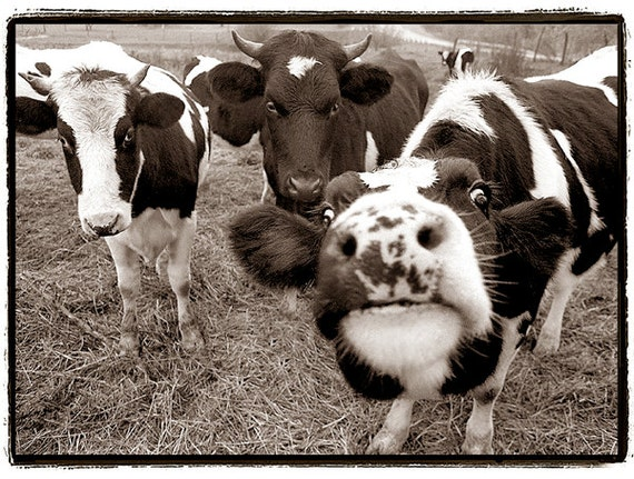 Cow photography Nature Photography Cows black and white