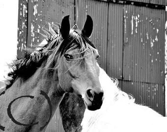 Horse Photo, 5x7 Horse Print, Horses, Black and White, Equine Art