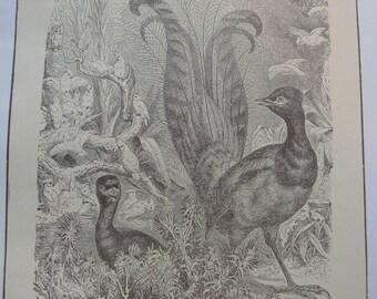 Sepia print -  Lyre Bird - 1911