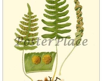 ART CARD - Fern botanical print reproduction 499