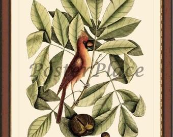 CARDINAL - Catesby bird print reproduction 7008