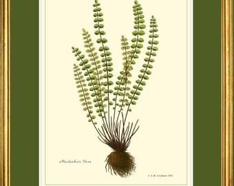 Botanical 9x12 print Reproduction - Maidenhair Fern  504