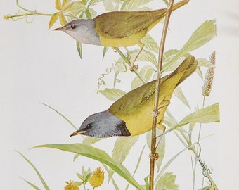 Antique Bird Book Plate - The Mourning Warbler - 1940s