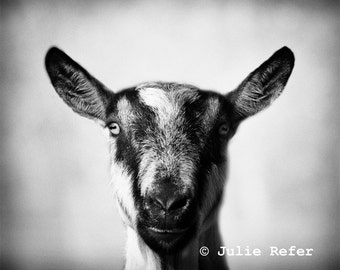 Farm Animal Photography Goat Black and White
