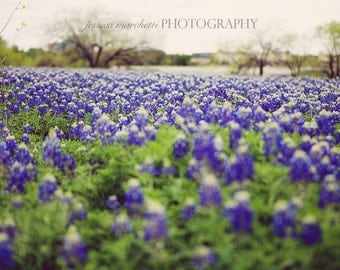 Bluebonnet Art, Nature Photography, Texas Bluebonnets, Landscape Photograph, nature print, texas wall art, bluebonnet print, nature art