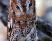 Photo Postcard - Screech owl - Nature Photography -  Breaking Reality Photography