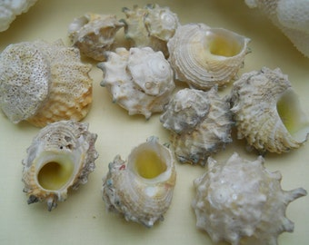 astrea calcar seashells BEACH NAUTICAL DECOR weddings crafts