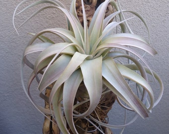 Med/Large Tillandsia Xerographica Air Plants