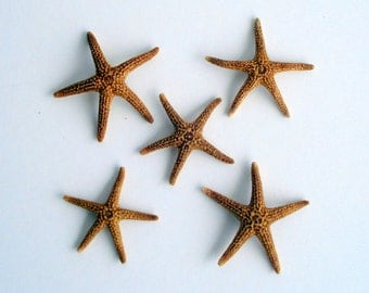"""Brown Starfish Set of 25 .5""""-3/4"""" with Free air plant and Free Shipping if added to any order"""