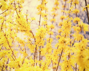 Yellow Forsythia Flower Botanical Nature Photography Butter Yellow Green Springtime Mothers Day Nature Photography, Fine Art Print