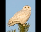 Snowy owl in pine tree bird photograph- 8x10 matted