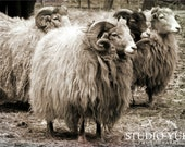 Sheep Photo, Animal Photography, Monochrome, Woolly, Nature Art Print, Black and White, Large Wall Decor, Sheep Art, Farm Photo, Rustic