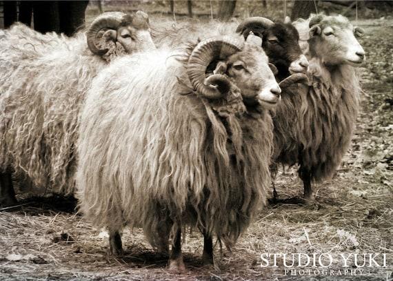 Sheep Photo, Animal Photography, Monochrome, Woolly, Nature Art Print, Black and White, Large Wall Decor, Sheep Art, Farm Photo, Rustic