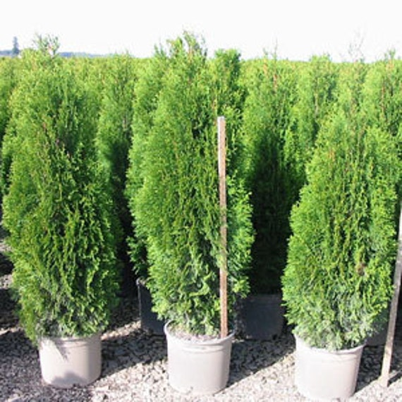 Emerald Green Arborvitae plants