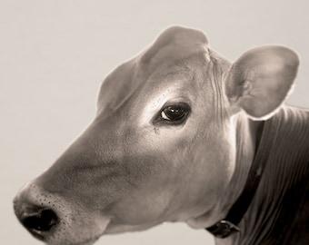 Cow Portrait photo, farm photo, Animal photo, Nature photography - Portrait of a Cow  - 8x8 fine art photograph