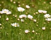 "White Daisies Field of Flowers Print 9"" X 12"" Fine Art Photography, Wildflower Daisy Field Print"