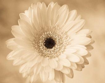 Gerber Daisy Photograph - Gerber Daisy photo, sepia, white flower photo, monochrome, home decor, daisy picture, daisy print, botanical art