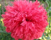 Pink Poppy Seeds
