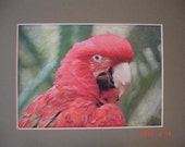Red Parrot , Watercolor, ink, pencil crayon mixed media painting 5 x 7 mounted to 8 x 10