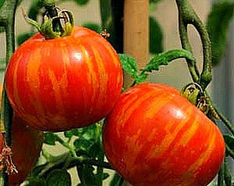Mr Stripey heirloom tomato, 25 seeds, non GMO, extra early cherry, cool weather, huge crops, flashy fruit, pretty in salads