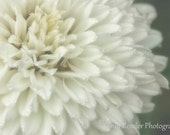 Double Bloom Shasta Daisy, 5x7 Fine Art Photography, Flower Photography - CindiRessler