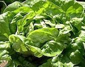 Lettuce Butterhead Buttercrunch Heirloom Seeds Non GMO Clearance Sale